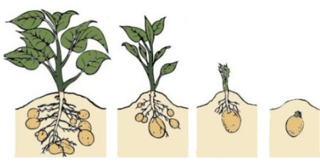 Вирощування картоплі голландська технологія