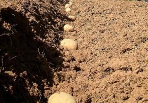 Натуральні добрива для картоплі