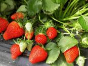 Обробка полуниці весною - профілактика від шкідників