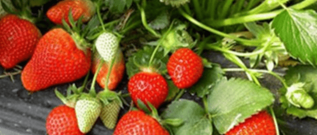 Обробка полуниці навесні.Якою має бути перша весняна підгодівля полуниці