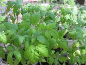 Розсада помідорів - проблеми вирощування та догляду