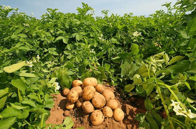 Як підвищити врожайність картоплі