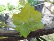 Основні хвороби винограду: методи боротьби з ними