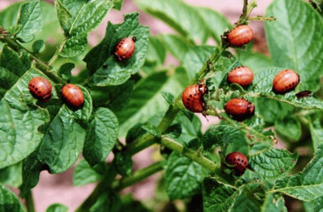 Обробка картоплі від колорадського жука