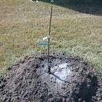 Як та коли правильно садити грушу