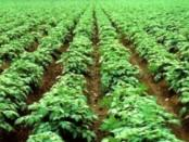 Оптимальні строки посадки картоплі