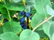 Жимолость їстівна вирощування і догляд фото