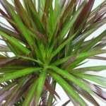 Квітка Драцена — полив і температурний режим, правила пересадки.