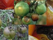Хвороби помідорів. Фітофтора на помідорах. Як боротися з фітофторою