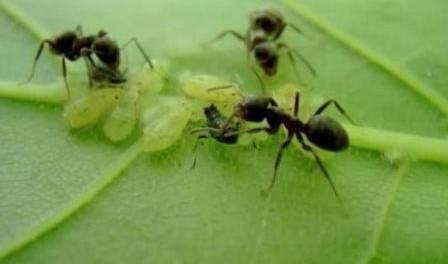 Боротьба з мурахами на садовій ділянці