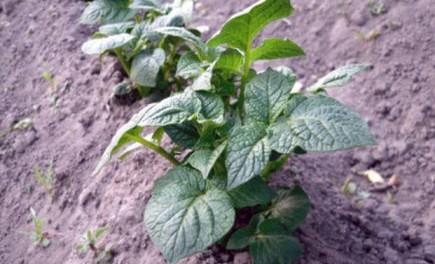 Підгортання картоплі - як і коли підгортати