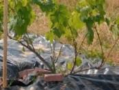 Укриття винограду на зиму в Україні