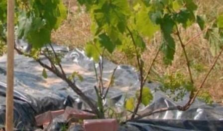 Укриття винограду землею, сухе укриття на зиму