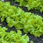 Листя салату: Користь, склад і властивості листя салату