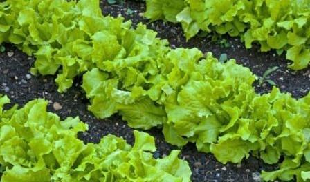 Листя салату