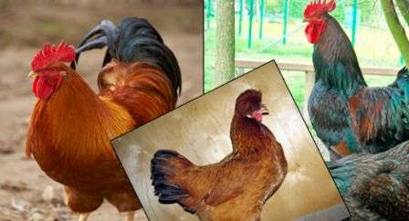 Мясні, яєчні, мясо-яєчні, декоративні Породи курей