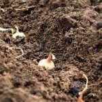 Посадка цибулі під зиму: коли і як садити цибулю восени