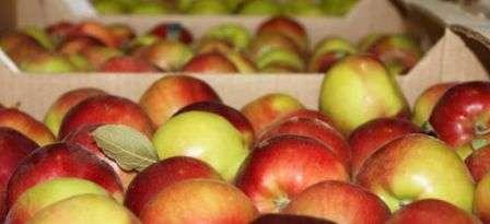 Зберігання яблук на зиму в домашніх умовах