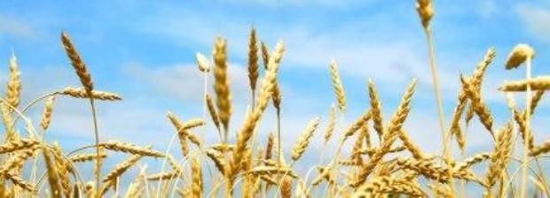 Озимий ячмінь технологія вирощування та посів