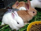Як правильно годувати кролів в домашніх умовах