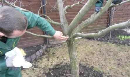 Обрізка дерев на зиму відео як обрізати плодові дерева