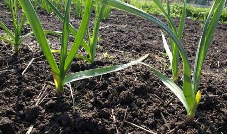 Озимий часник, садимо часник на зиму, корисні властивості часнику, кращий урожай часнику, високі врожаї часнику, великі цибулини