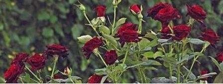 Догляд за трояндами на зиму  Обрізка ea7e690178a72