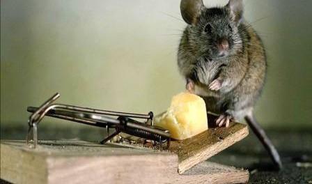 Як позбутися мишей на дачі та в хаті назавжди