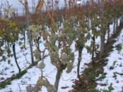 Як укрити молодий кущ винограду на зиму