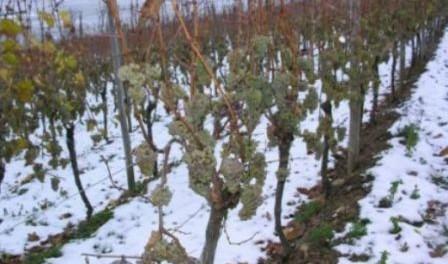 Виноградарство, укриття винограду взимку, підгортання винограду, напів укриття винограду, повне укриття винограду
