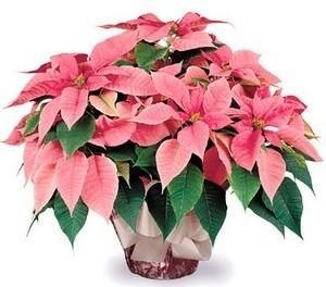 Різдвяна квітка пуансетія: догляд в домашніх умовах