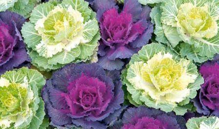 Декоративна капуста вирощування і догляд. Фото