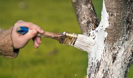 Підготовка до зими, побілка дерев, як білити дерева, готуємо дерева до зими, осінні роботи в саду.