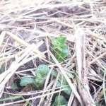 Посадка картоплі під солому — як садити картоплю та як доглядати за нею