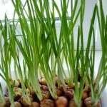 Вирощування зеленої цибулі на зиму в домашніх умовах