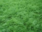Вирощування зелені в теплиці цілий рік для продажу