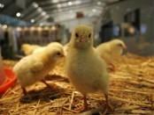 Хвороби курчат бройлерів - симптоми і лікування