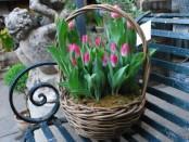 Вигонка тюльпанів до 8 березня - відео та відгуки про вирощуванн