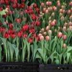Вигонка тюльпанів в домашніх умовах