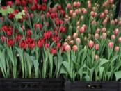 Вигонка тюльпанів в домашніх умовах відео (до 8 березня)