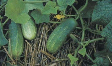 Коли садити огірки на розсаду в 2016 році? - Відео