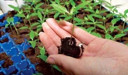 Місячний календар городника на 2016 рік для вирощування розсади