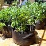Вирощування картоплі в мішках: технологія, відгуки та фото