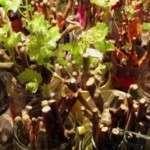 Як виростити виноград з живців в домашніх умовах