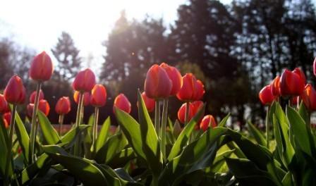 Тюльпани. Фото квітів, красиві сортові тюльпани з назвами.