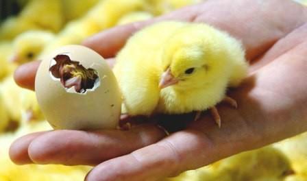 Інкубація курячих яєць в домашніх умовах - режим та терміни інкубації
