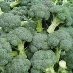 Капуста броколі вирощування на городі