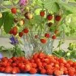 Коли садити полуницю? Березень — найкращий час для посіву насіння на розсаду