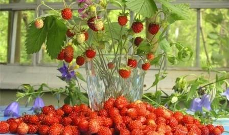 Коли садити полуницю? Березень - найкращий час для посіву насіння на розсаду