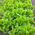 Коли садити салат? З кінця березня можна садити салат в теплицю